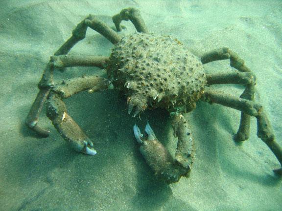 sheep-crab